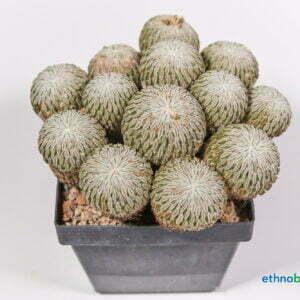 Pelecyphora asseliformis 01