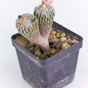 Pelecyphora asseliformis 02