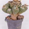 Pelecyphora asseliformis 04