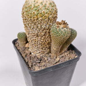Pelecyphora asseliformis 05