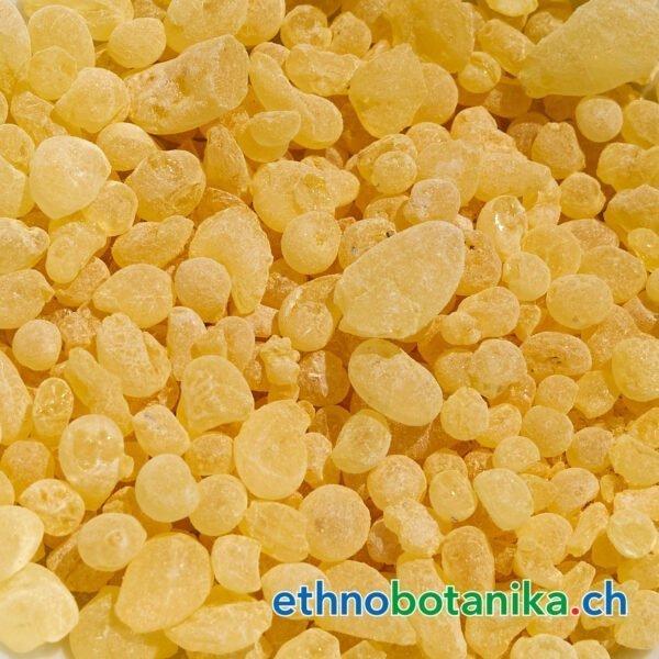 Pistacia lentiscus rohstoff 01