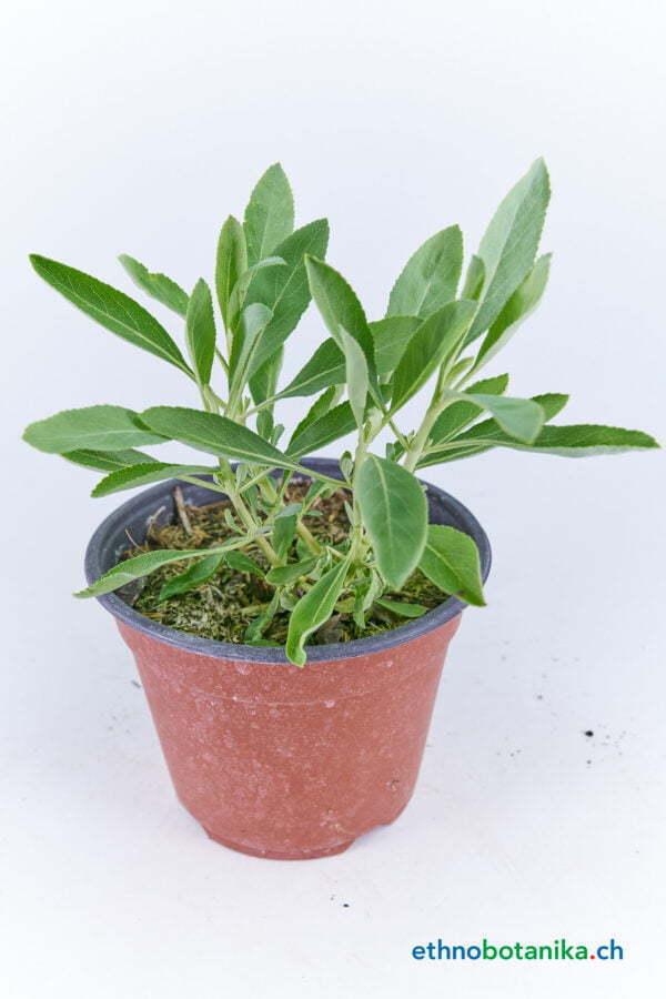 Salvia apiana 01
