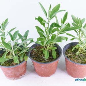 Salvia apiana 02