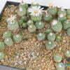 Strombocactus disciformis Plazuela SLP 01