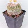 Strombocactus disciformis 02