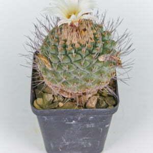 Strombocactus disciformis 03
