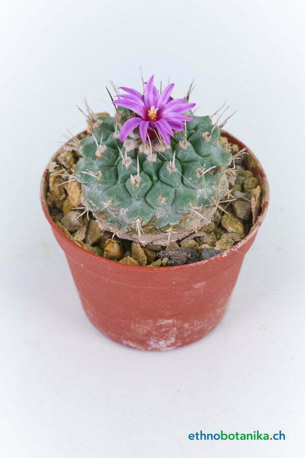 Strombocactus disciformis var pucherimus 01
