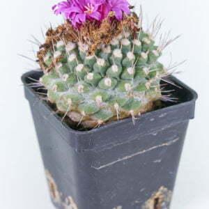 Strombocactus disciformis var pucherimus 02