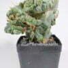 Trichocereus bridgesii cristata 01