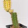 Trichocereus bridgesii peruvianus yvonne 01