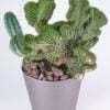 Trichocereus peruvianus crest 01