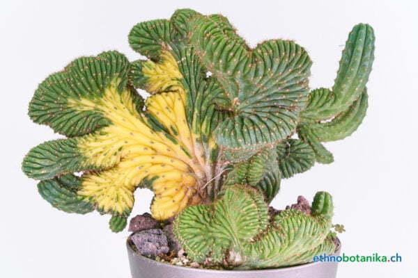 Trichocereus peruvianus crest 02