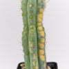 Trichocereus peruvianus Haage clone 01