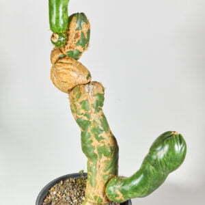 Trichocereus santaensis 01