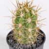 Trichocereus terschekii 01