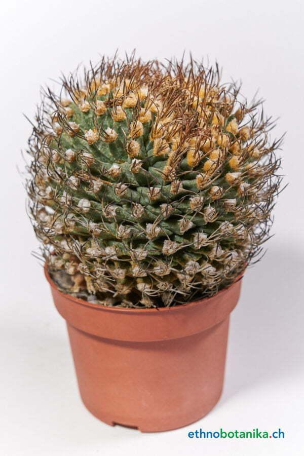 Turbinicarpus alonsoii crest Xichu SLP 01