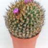 Turbinicarpus alonsoii crest Xichu SLP 02