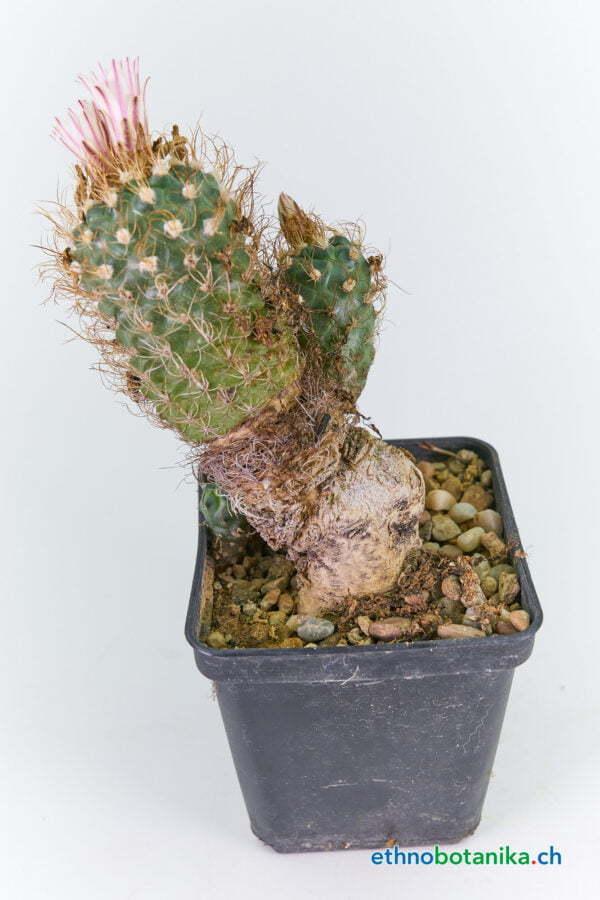 Turbinicarpus kranzianus SLP 01