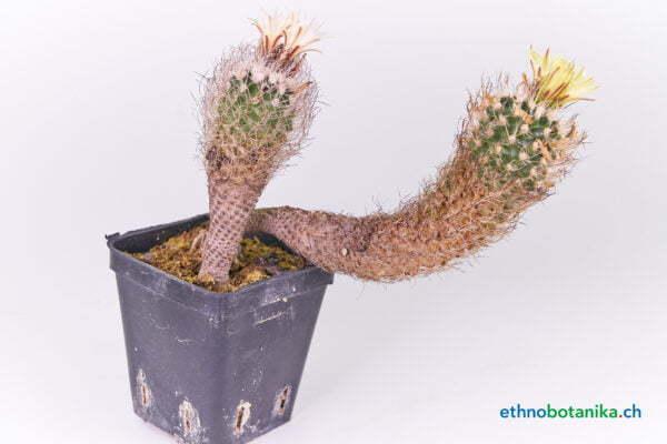 Turbinicarpus kranzianus v.minimus 01