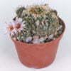 Turbinicarpus panarotoii 01
