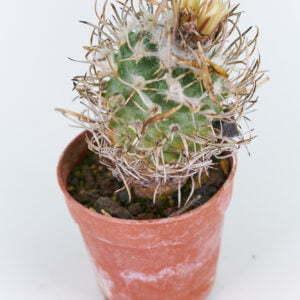 Turbinicarpus schwarzii Charco Blanco km 150 SLP 01