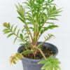 Valeriana officinalis 01