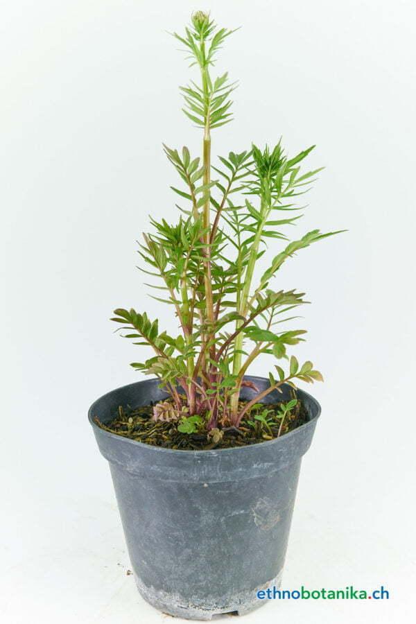 Valeriana officinalis 02
