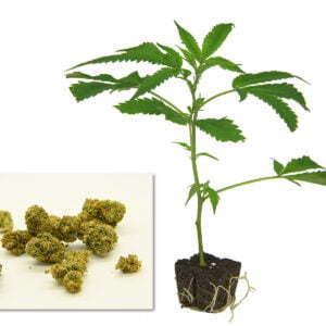 Harlequin Cannabis Steckling