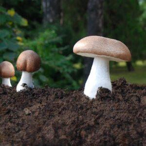 mandelpilz pulver bio agaricus blazei murril bio pilzpulverkapseln 120 stk 2