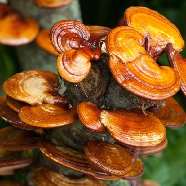 reishi ling zhi pulver bio ganoderma lucidum bio pilzpulverkapseln 120 stk 2